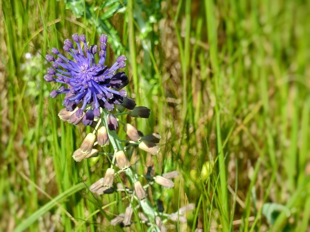 Blüte Schopfige Traubenhyanzinthe