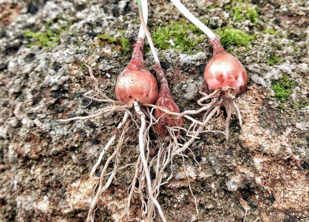 Die kleine Zwiebel der Schopfigen Traubenhyanzinthe