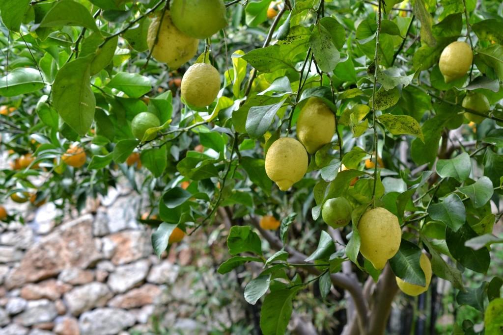 Zitronenbaum mit Reifen Zitronen im Februar in Apulien